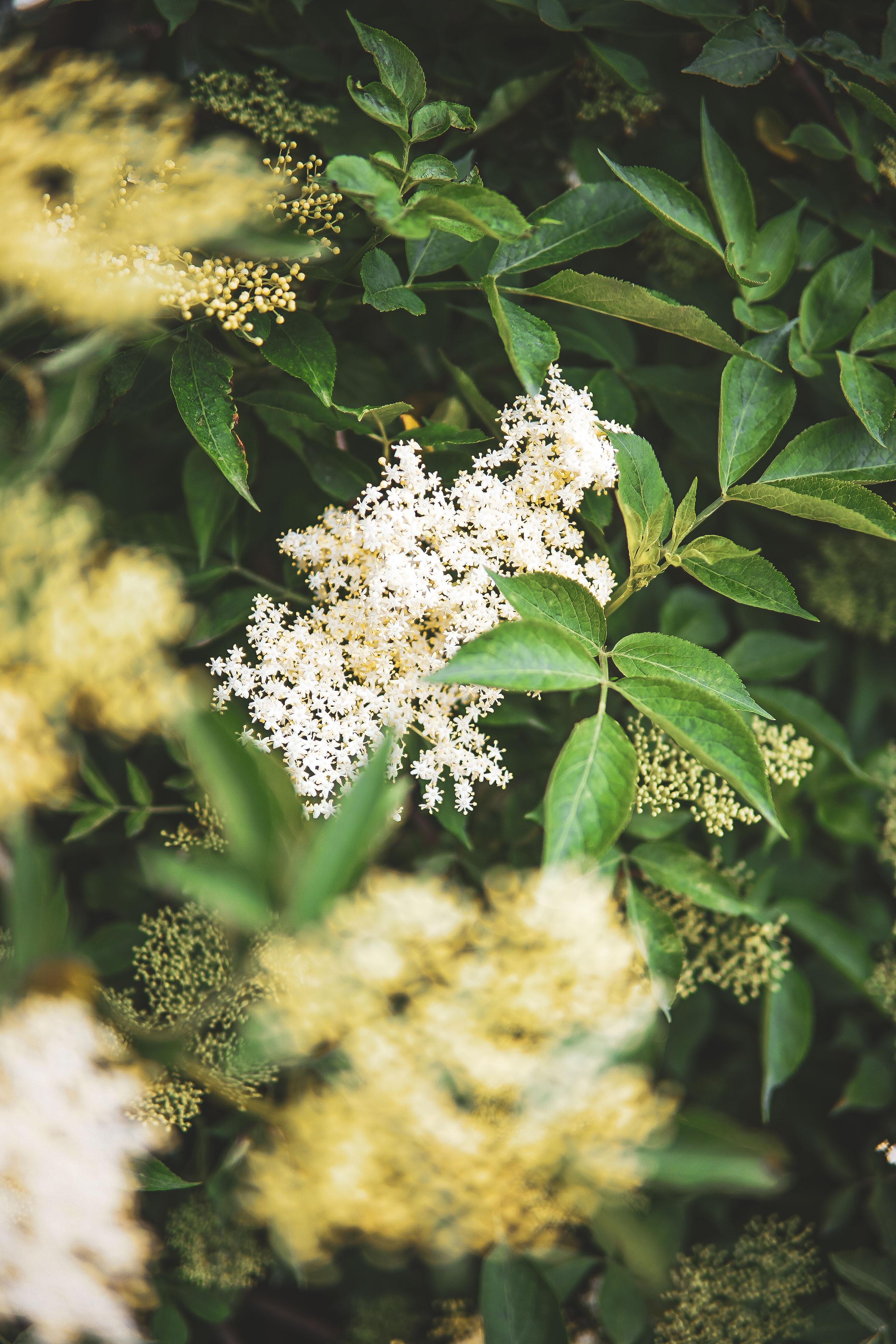 elderflower baza photography