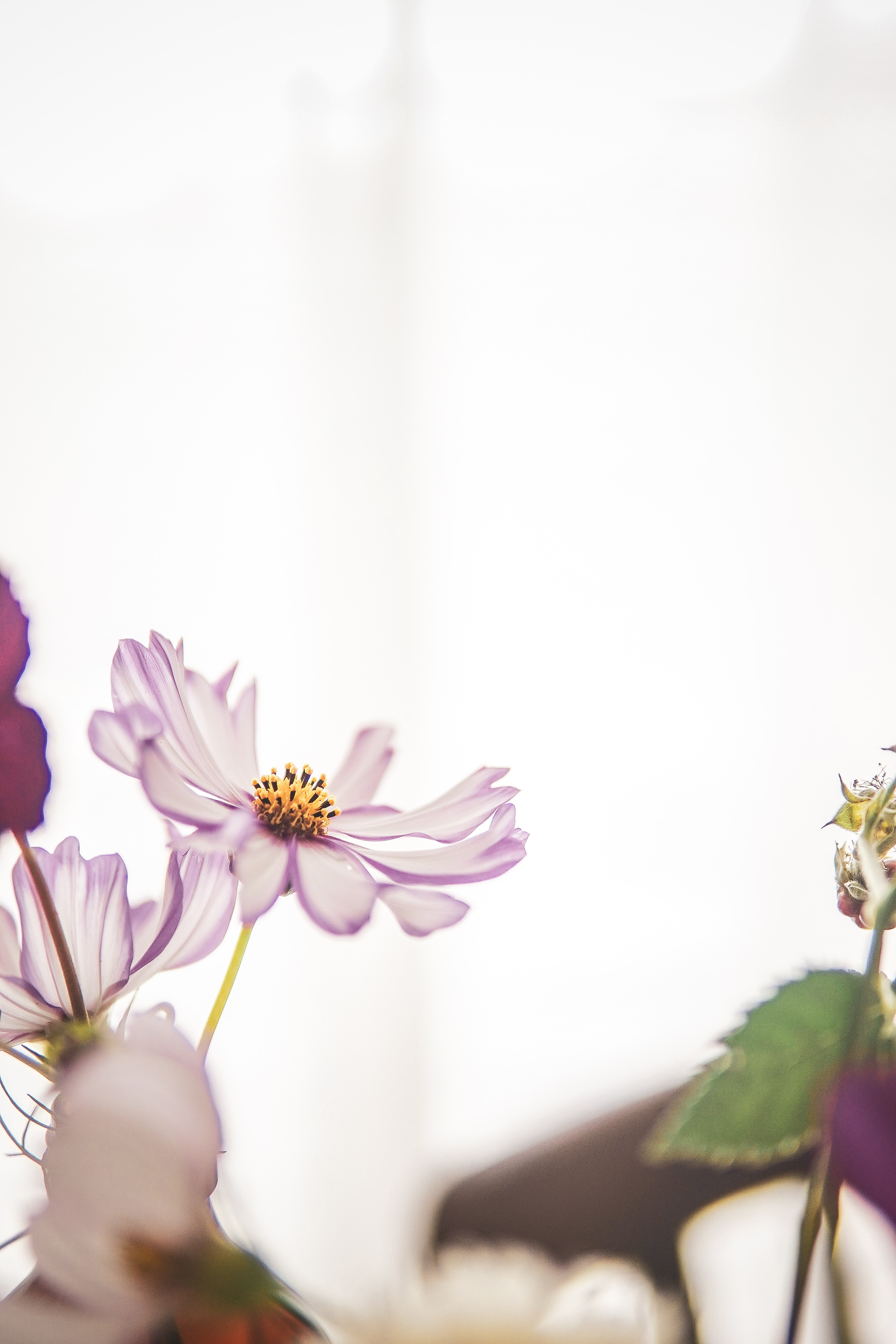 cosmos flower ohotography